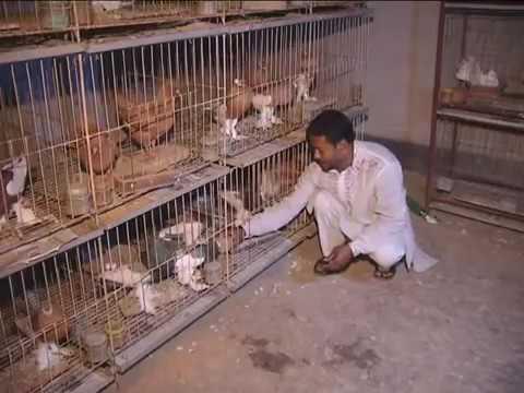 Pigeon Farming in Bangladesh - (Part-4) Somaroho Pigeon Farm