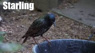 Common Starling Video and Sound Effect (4K)