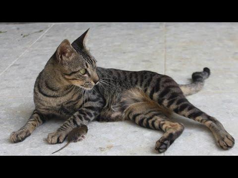 Suara Kucing Marah Saat Lapar Minta Dibukakan Pintu dan Makan
