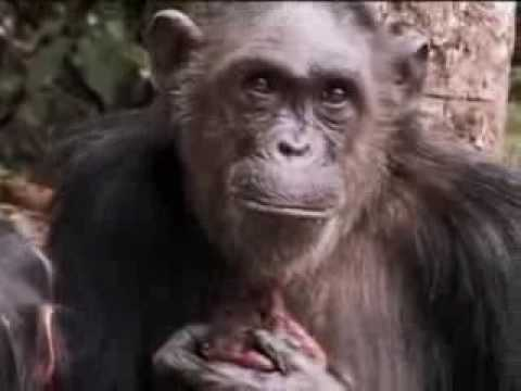 A new cute baby chimpanzee is born in the wild jungle ...