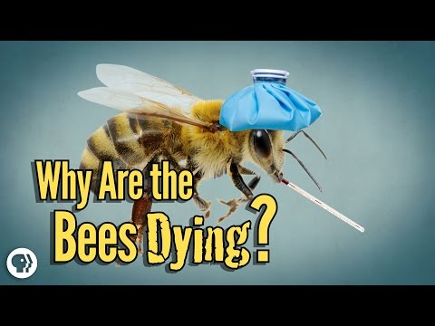 Why Are The Bees Dying?