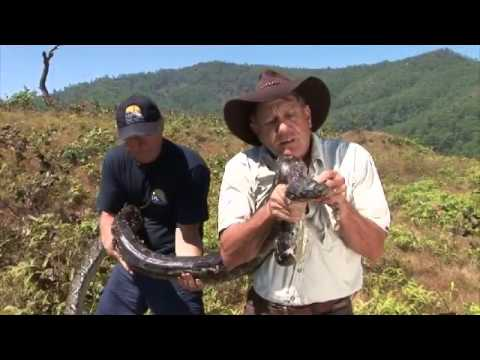 Masive Snake Encounter in East Timor