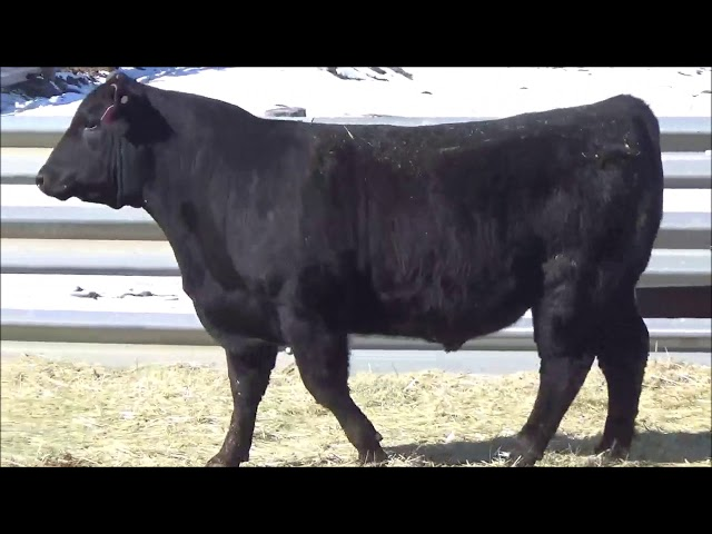 Connealy Angus Lot 341