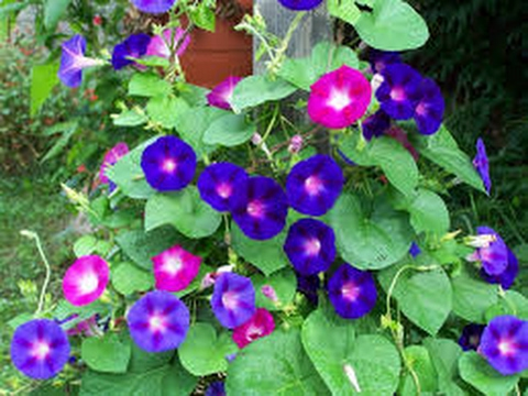 How to grow and identify morning glory plus garden review from kid