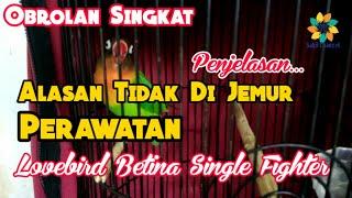 Download lagu Perawatan Lovebird Betina Single Fighter Penjelasan Alasan Tanpa Jemur