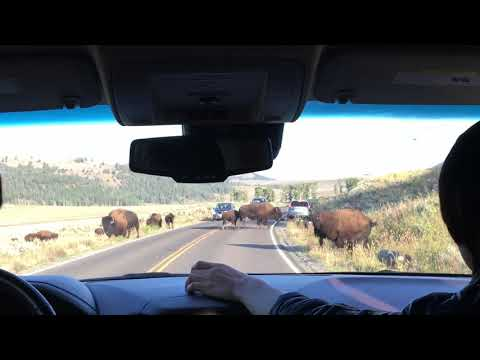 Yellowstone Bison crossing