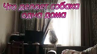Собака ведет себя как кошка, когда одна дома / Волк в домашних условиях
