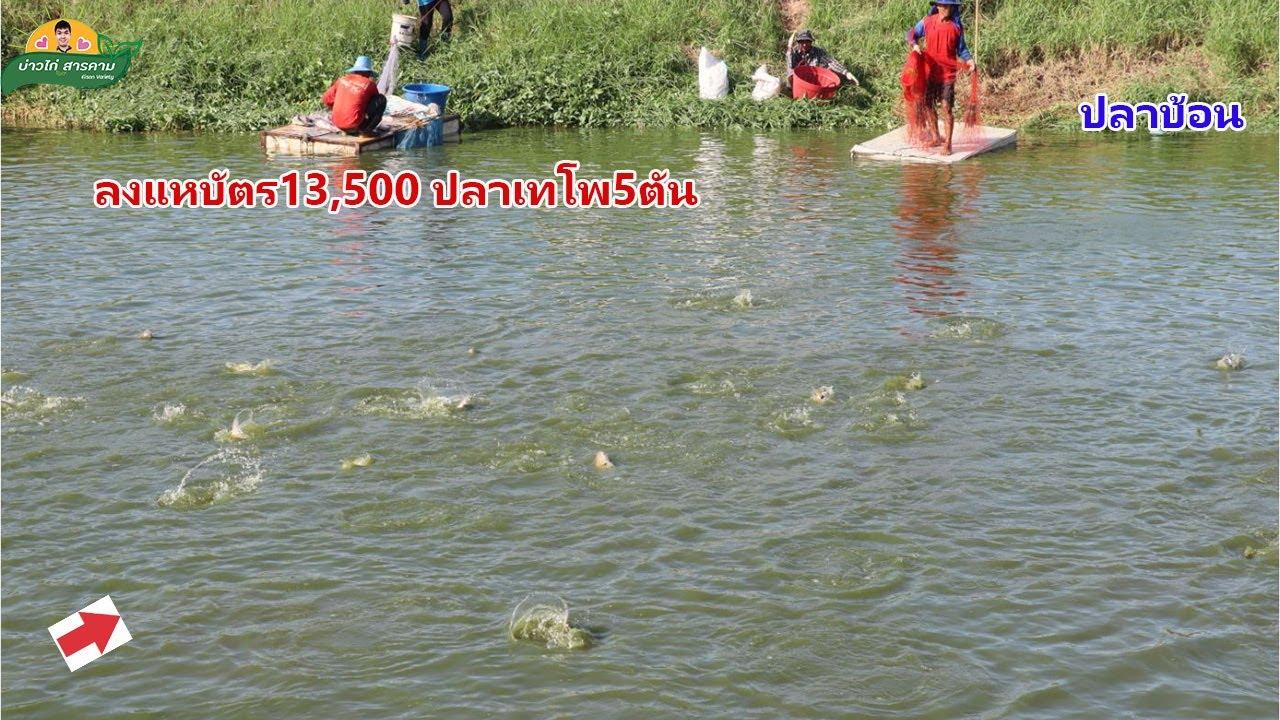 ลงแหบ่อปลาเทโพ บัตรคนละ13,500บาท ได้ปลาไม่ต่ำกว่า5ตัน #คลิปที่72