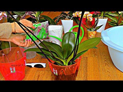 ФИТОСПОРИН для орхидей: СЕКРЕТ спасения и метод применения от ГНИЛИ и ГРИБКА