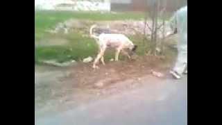pakistan strongest dog by sultan's farm