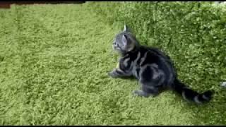 Шотландский котенок скоттиш страйт