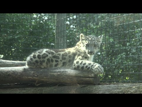 Baby snow leopards revealed at Rosamond Gifford Zoo (video)