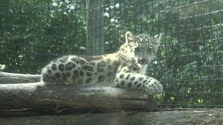 Baby snow leopards invade Rosamond Gifford Zoo
