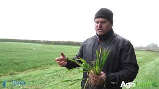 作物观察:锈病得到控制;小麦T1时间