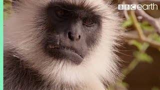 Scarface Fights Off Other Monkeys | Life Story | BBC