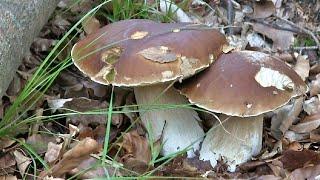 Pilze sammeln-Steinpilze-Maronen-Pfifferlinge-Semmelstoppelpilze