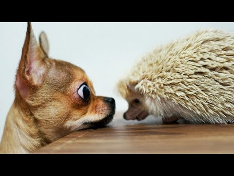 Super FUNNY CHIHUAHUAS - It's TIME to LAUGH HARD!