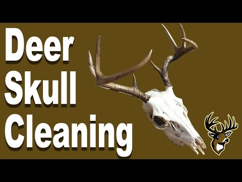 Deer Skull Cleaning for European Mount - Burying and Maceration - Step 1