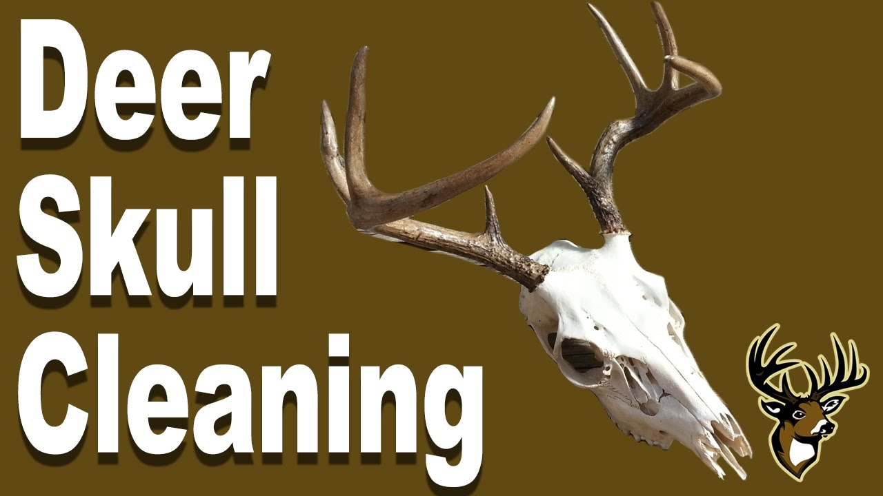 how to do a skull mount of a deer