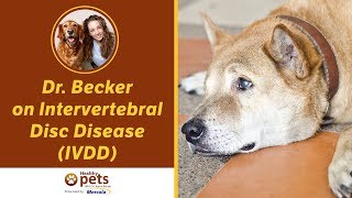 Dr. Becker On Intervertebral Disc Disease (ivdd)