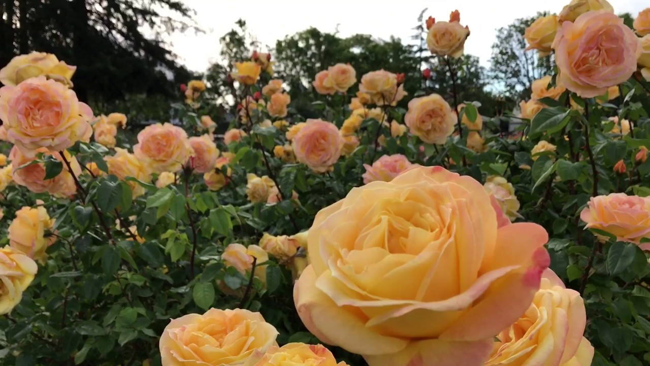 Beautiful Rose Blossoms :) - Rose Garden Walk - YouTube