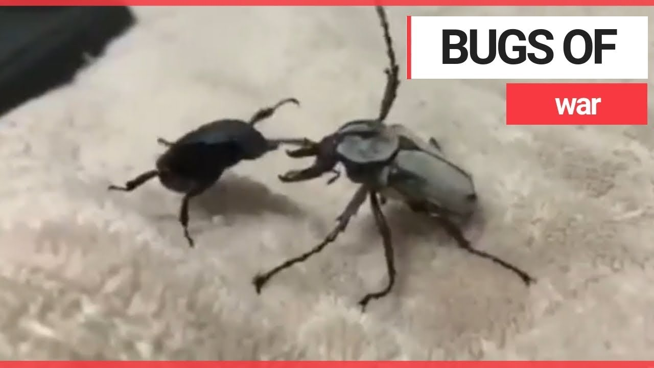 Bizarre Video Captures Two Beetles Having A Boxing Match Swns Tv