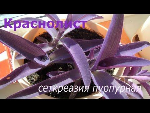 Краснолист Сеткреазия пурпурная.