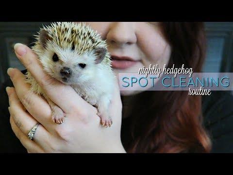 Nightly Hedgehog Routine || Spot Cleaning & Feeding