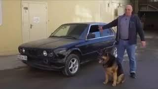 Белка и Стрелка первые собаки в космосе, а этот пёс первый за рулём автомобиля!