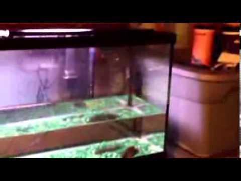 Doing a water change on an Oscar fish tank