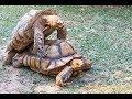 Download Kaplumbağa kavgası, çiftleşme mevsimi