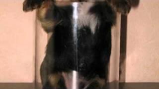 Yorkshire Terrier Welpen In Suhl