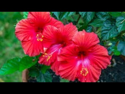 How To Transplant Hibiscus Plant Youtube
