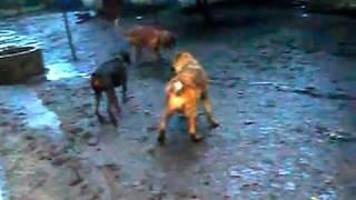 Грязевые бои собак вечерняя после дождевая прогулка Французкий мастиф Доберман и Алабай