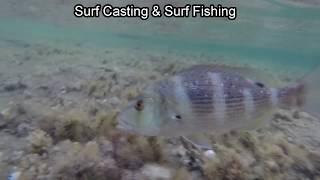Surf Casting  Surf Fishing Kıyıdan (Dentex) Sİnarit Palazının Denize İadesi Ve Sualtı Görüntüsü