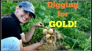 Digging For Gold! Our Yukon Gold Potatoes~