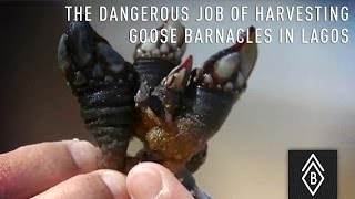 The dangerous job of harvesting goose Barnacles in Lagos, Portugal - Video 2/4