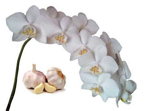 Поливаем Орхидеи чесночным настоем для цветения. Часть 1. Полив орхидей чесноком. Витамины