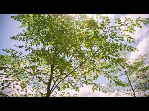 TOGO : Le Moringa, l'arbre aux mille vertus