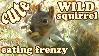 Baby Ground Gray Grey Squirrel - What Do Squirrels Eat - How Animals Eat Their Food Foods - Jazevox