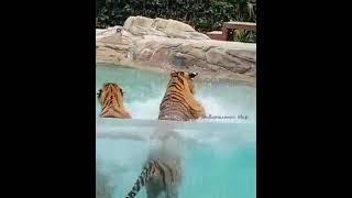 호랑이 수영장