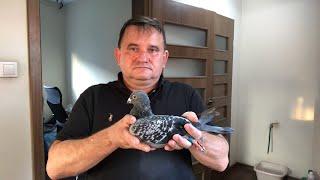 (NA ŻYWO ) Gołębie do rozpłodu - tel. 505 231 138