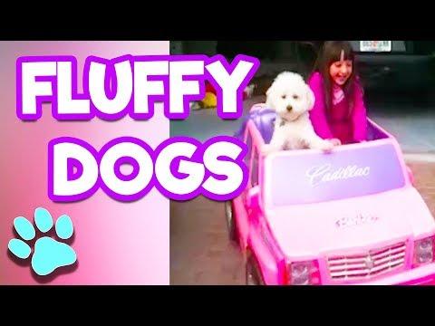 Fluffy Dogs | Poodles + Golden Doodles + Bichon Frise | #thatpetlife