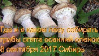Поход в лес за грибами опятами 8 сентября 2017 Сибирь тайга природа охота сбор грибов тихая охота