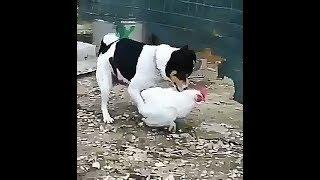 Tingkah anjing sange kawin ayam bikin ngakak