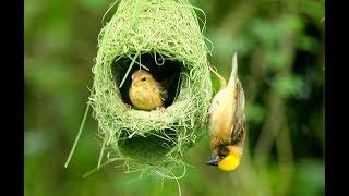 Chim dồng dộc - thợ dệt tổ đẳng cấp