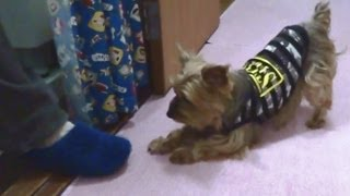 """My dog plays with the slippers her owner wears. She had """"Large Ear ..."""