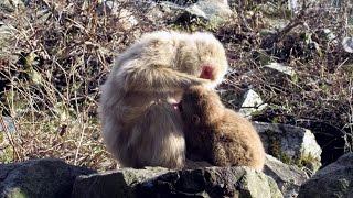 yajiさんの 温泉ひとり旅 信州 地獄谷 野猿公苑 【Jigokudani Spa. Monkey Park】