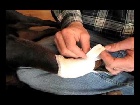 753f47be2c1f Doc Zadina shows you how to properly put on a bandage on your dog's leg