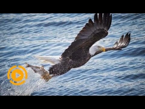 𝐍ational 𝐆eographic 𝐃ocumentary - 𝐀merican 𝐁ald 𝐄agle - 𝐖ildlife 𝐀nimal 𝐓Rpro  Ep 23